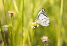pillangó a réten